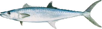 kingmackerel.jpg (6463 bytes)