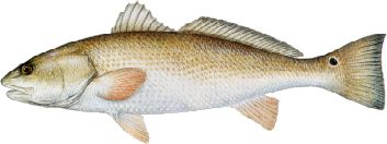 redfish.jpg (9843 bytes)