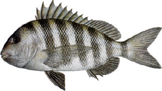 Fish On Charters Mississippi Gulf Waters Fish Species
