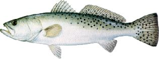 speckledtrout.jpg (8970 bytes)